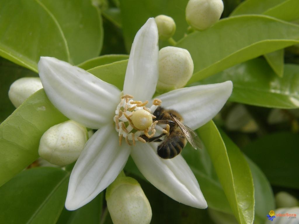 abeille butinant une fleur d oranger blog
